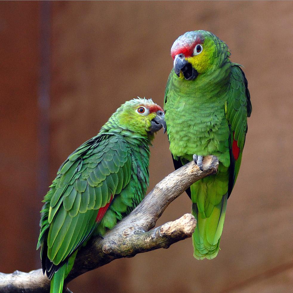 Amazone d'Equateur