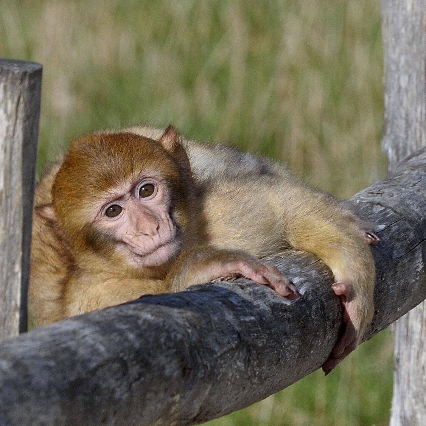 Macaques de Barbarie