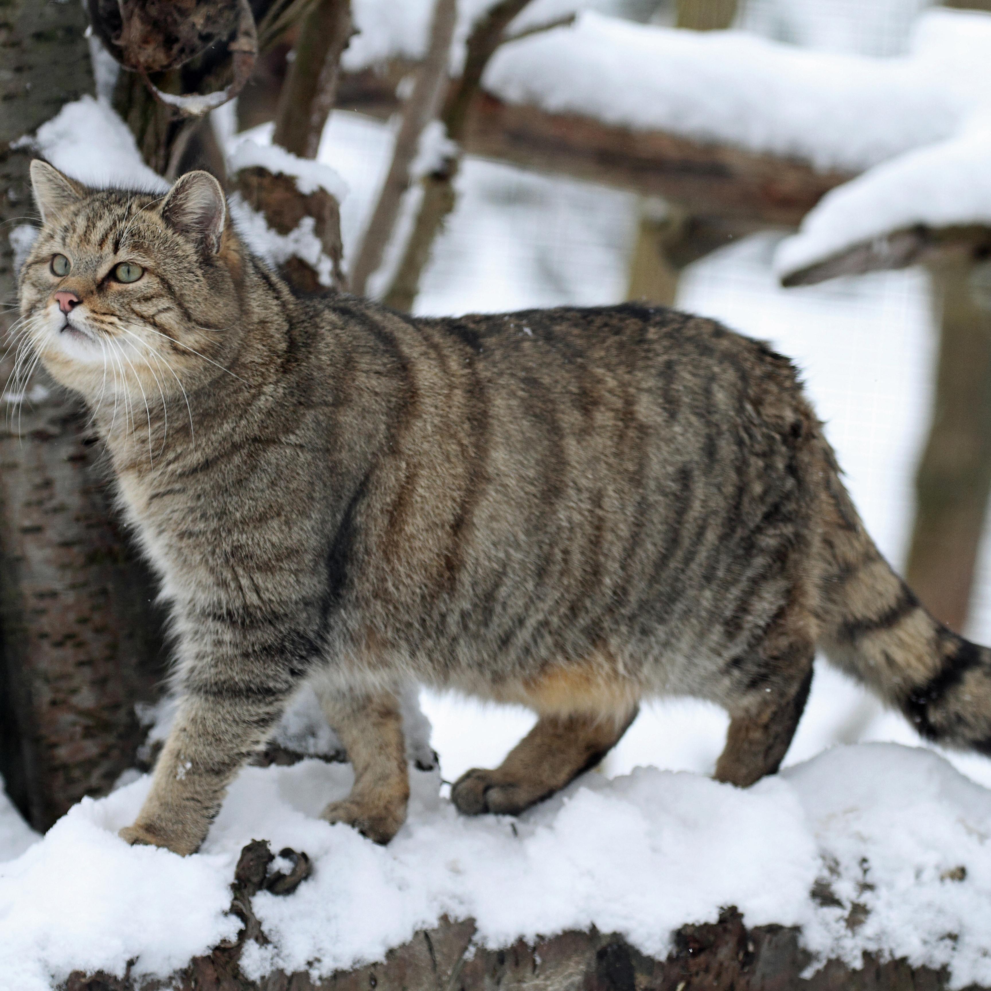 Chat sauvage européen