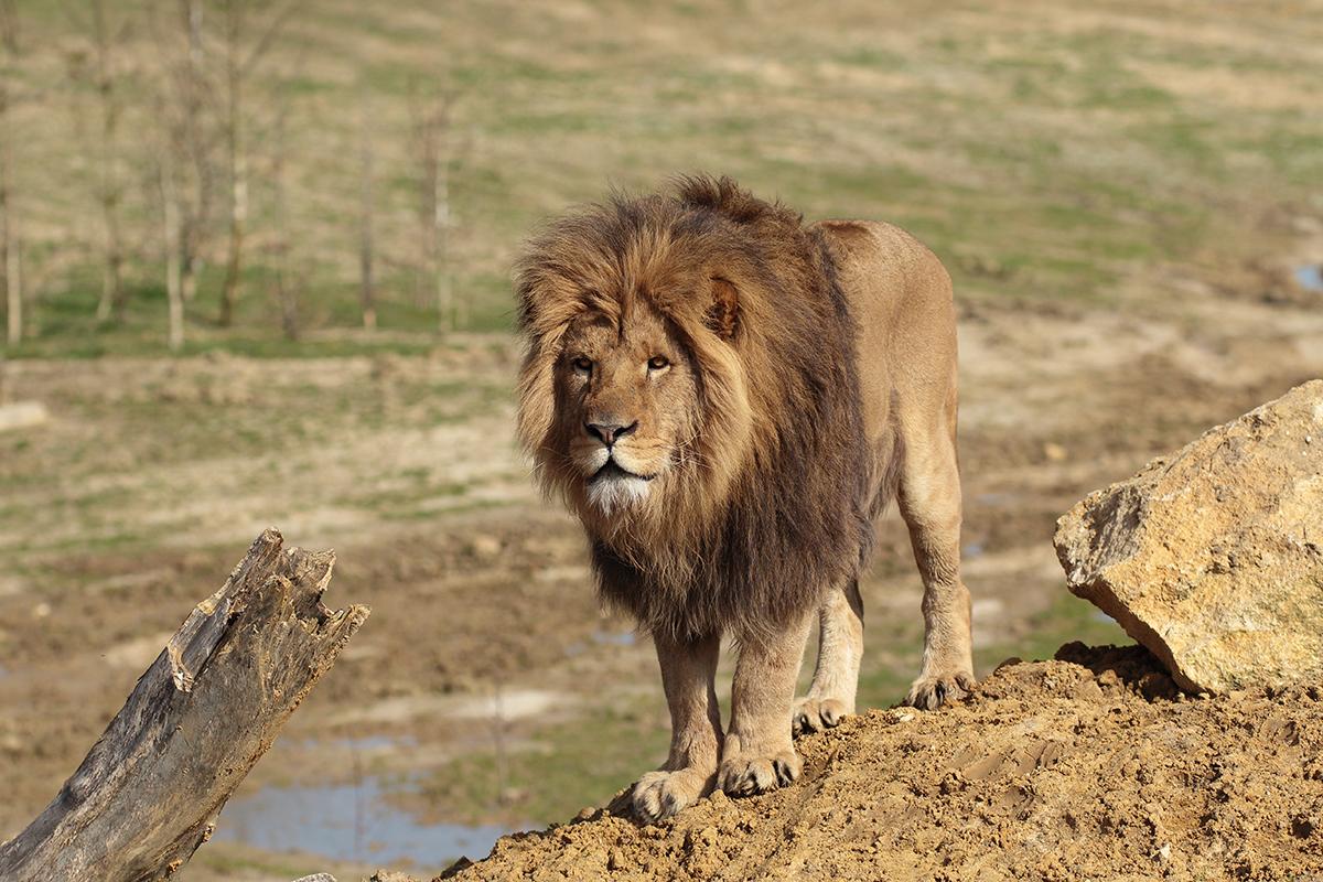 Lion d'Afrique de l'Est