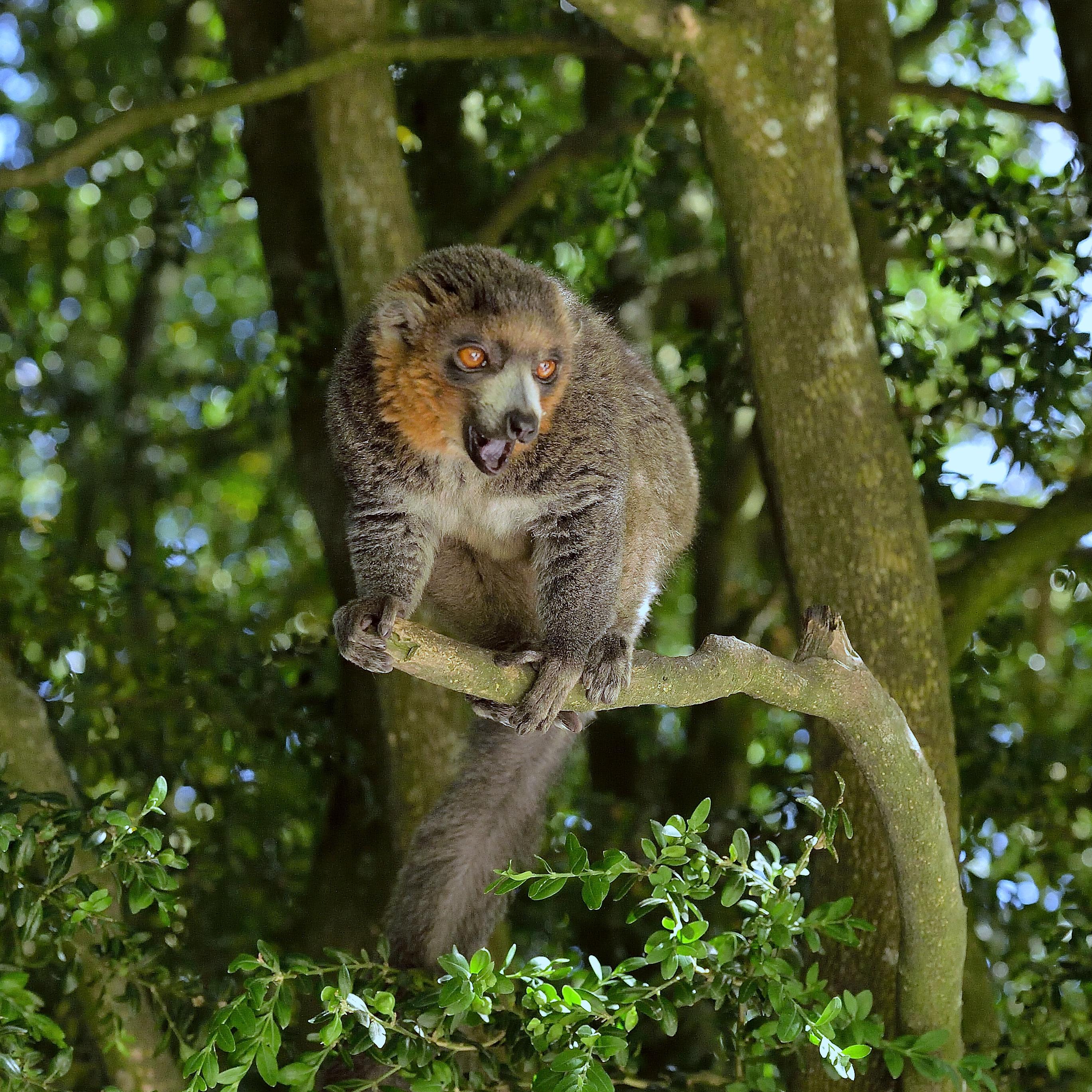 Lémur mongos