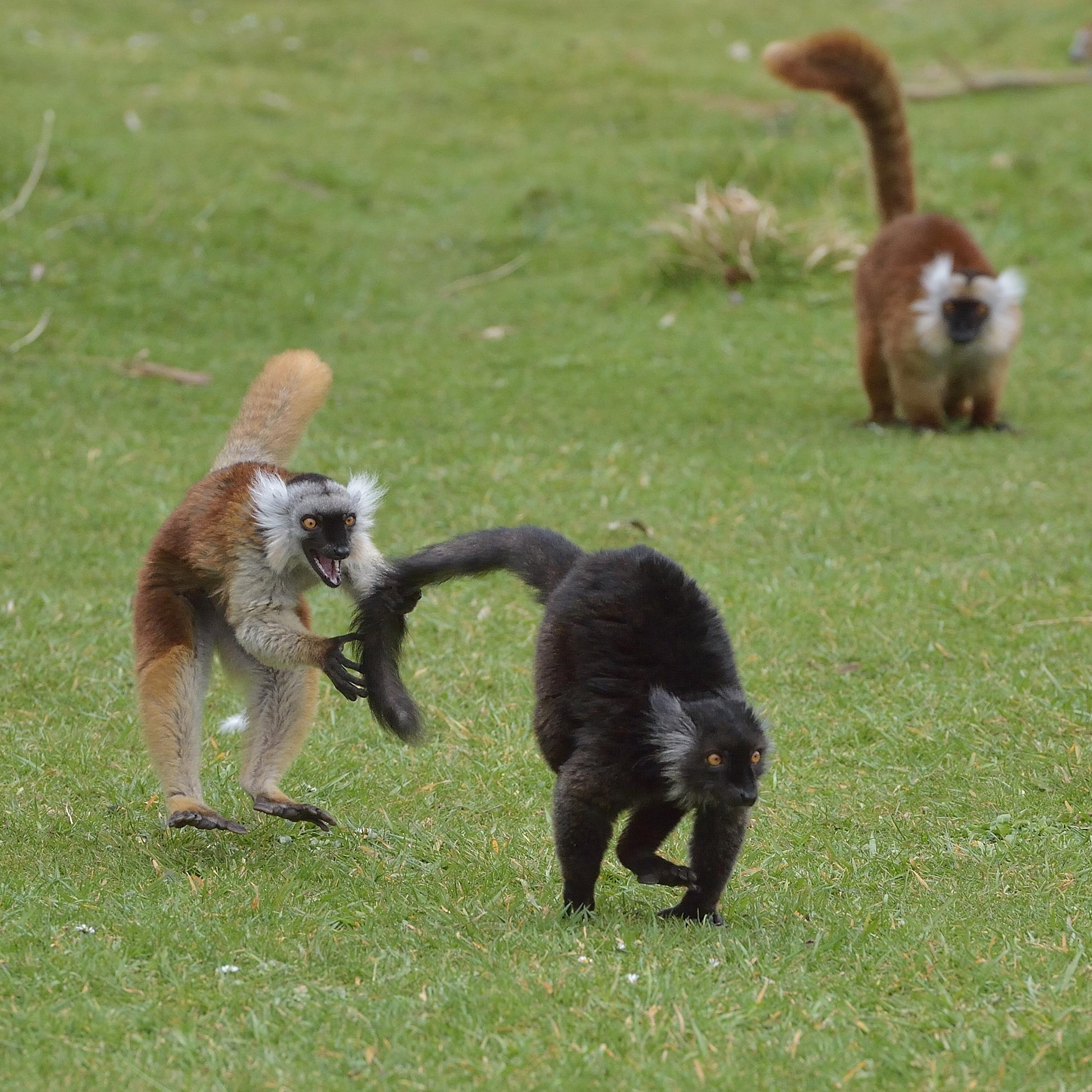 Lémur macaco