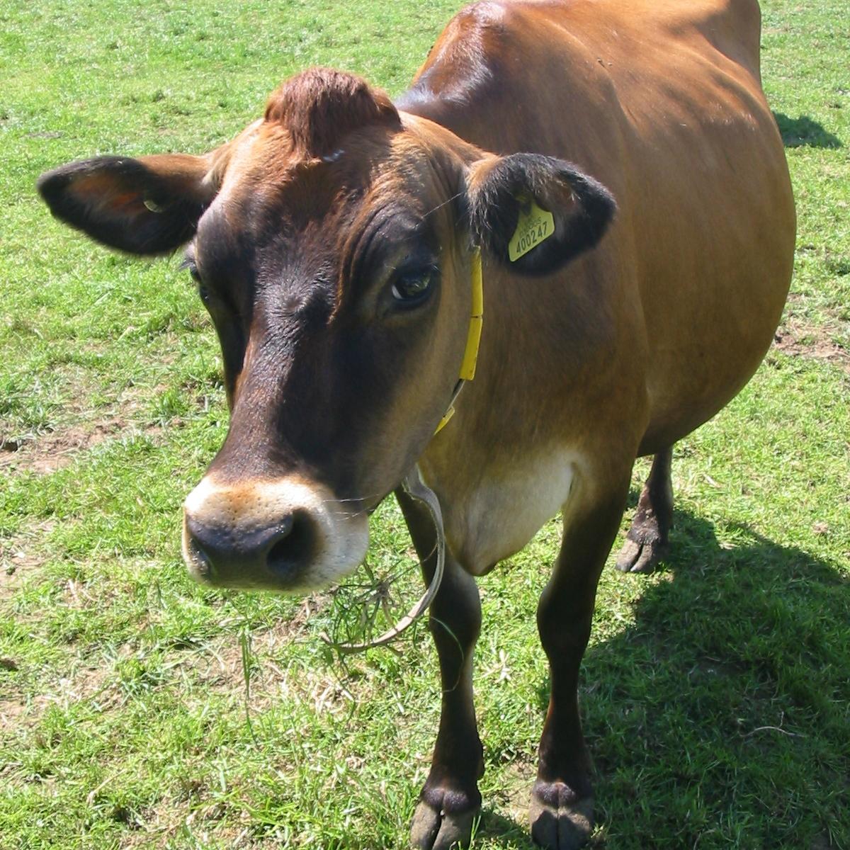 vache jersiaise