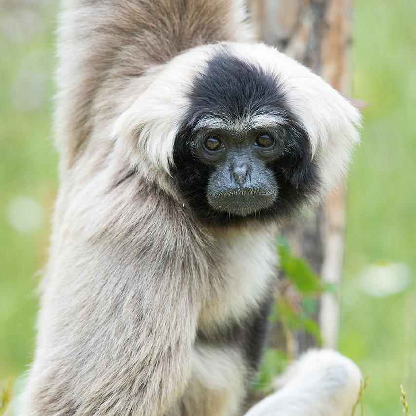 Gibbon à bonnet