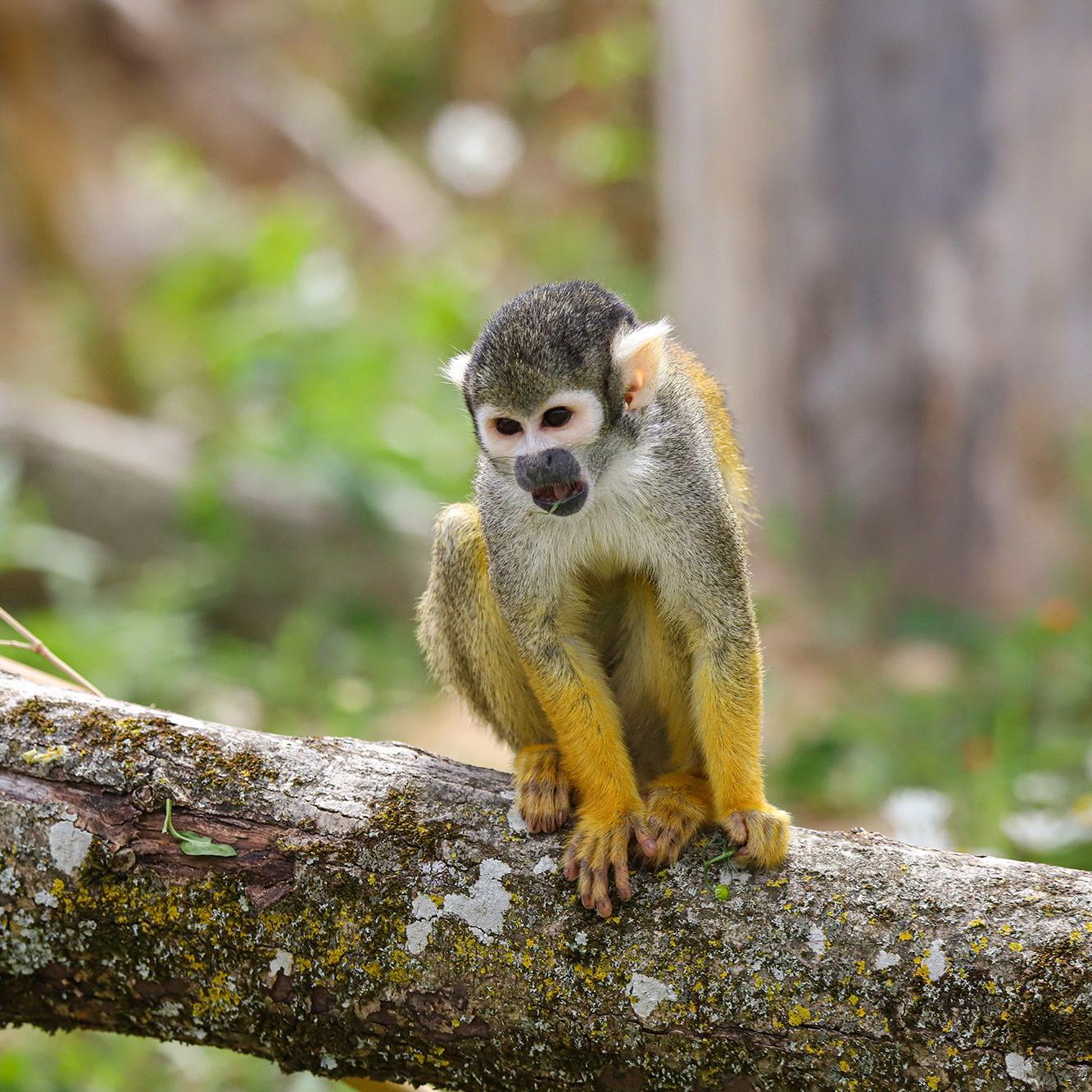 Saïmiri du Pérou